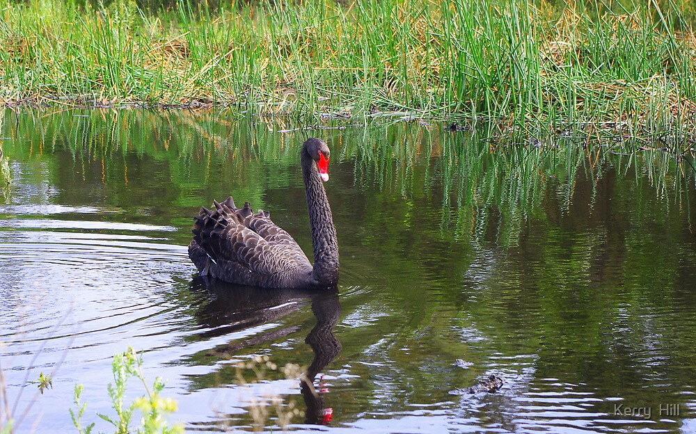 Black Swan by Kerry  Hill