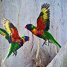 The Changing Of The Guard. Rainbow Lorikeets (Trichoglossus haematodus) by Nick Egglington