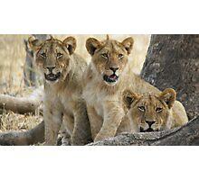3 lion cubs Photographic Print