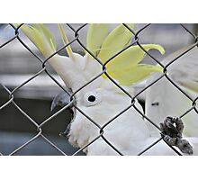 Hello Cocky! Photographic Print