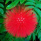 A Burst of Red by rosaliemcm