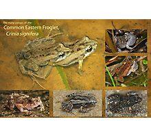 Eastern Froglet, Crinia signifera Photographic Print