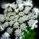 Queen Anne's Lace Heart by kkphoto1