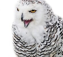 Snowy Owl looking for food by Barry Goble