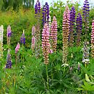 Lupins by Aase