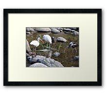 Heron And Ibis - Garza Blanca E Ibis Framed Print