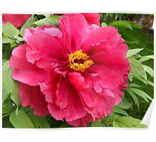 A breath of Peony Poster
