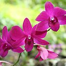 Purple Orchids in Fiji by Bami