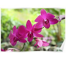 Purple Orchids in Fiji Poster