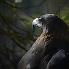 Tasmanian Wedge Tailed Eagle by gmws