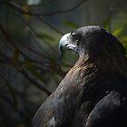 Tasmanian Wedge Tailed Eagle by Glenda Williams
