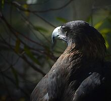 Tasmanian Wedge Tailed Eagle by Glenda Williams