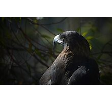 Tasmanian Wedge Tailed Eagle Photographic Print