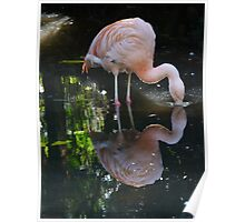 Greater Flamingo - Adelaide Zoo Poster