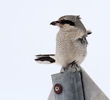 Butcher Bird / Northern Shrike by Gary Fairhead