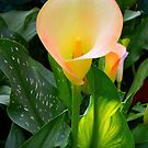  Open Flame Calla by lindabeth