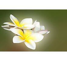 White Lady - frangapani flowers Photographic Print