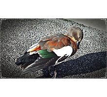 "Beautiful coloured  feathers"" Photographic Print"