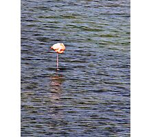 Flamingo Nap Photographic Print