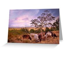 Chow Time - Galloway Cows, Kanmantoo, The Adelaide Hills, SA Greeting Card