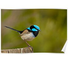 The Superb Fairywren (male) Poster