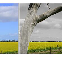 Canola Field Trilogy by RobsVisions
