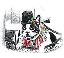Boston Terrier Christmas Photographic Print