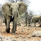 """""""The Matriarch"""" - african elephant cow (Loxondonta africana) by Sandy Beaton"""