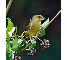 GREENFINCH Photographic Print