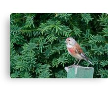 An uncommon Common Linnet Canvas Print