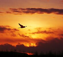 Sunset Stalking Sparrowhawk by David Alexander Elder