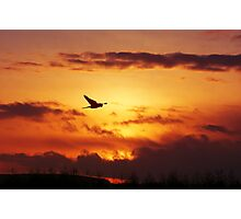 Sunset Stalking Sparrowhawk Photographic Print