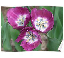 Three Fushia Tulips Poster