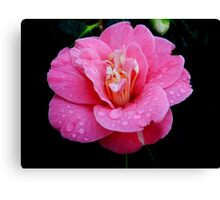 Dew drops on a Rhododendron Canvas Print