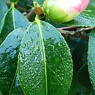 Rhododendron in bud by Johnathan Bellamy