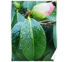 Rhododendron in bud Poster