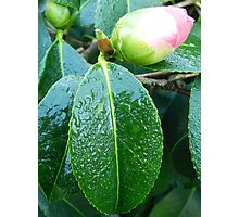 Rhododendron in bud Photographic Print