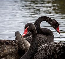 Black Swan Oatlands by Ron Co