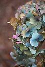 Rainbow Hydrangea by Astrid Ewing Photography
