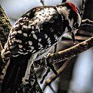 Downy Woodpecker by Robin Black