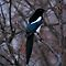 Black Billed Magpie by Larry Trupp