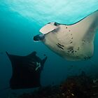 Dancing Manta's by MattTworkowski