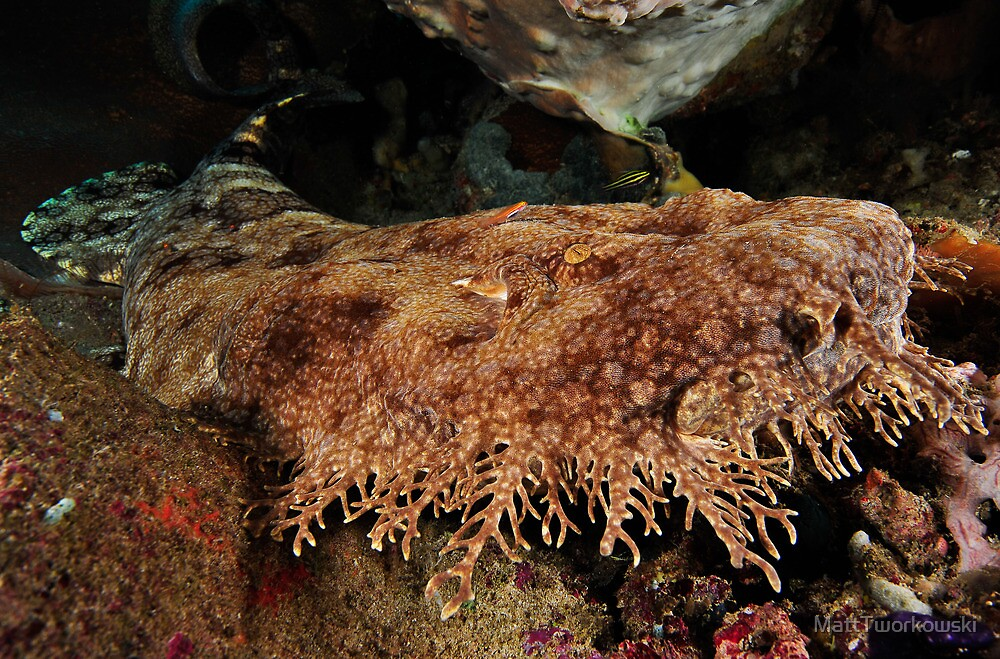 Ornate Wobbegong Shark by MattTworkowski