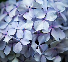 Hydrangea Up Close and Personal by Kate Lionis