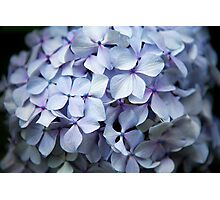Hydrangea Up Close and Personal Photographic Print