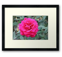 Red rose with water drops  Framed Print