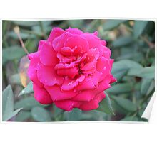 Red rose with water drops  Poster