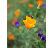 Californian poppy with a bee! Photographic Print