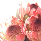 Pink Proteas by laurenkim