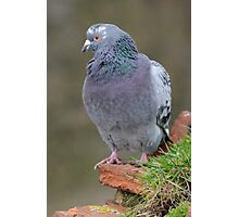 Pigeon head to side Photographic Print